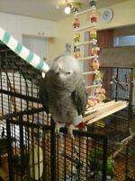 gris d'afrique perroquet