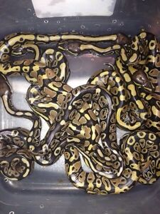 Hatchlings and adult males