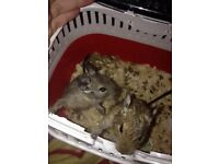 2 degus FREE collection only
