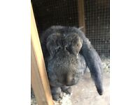 Male French lop rabbit