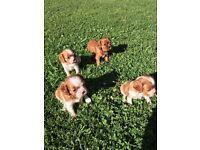 King charles cavalier pups