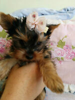 pure breed yorkshire terrier/yorkie