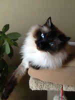 Free Loving Ragdoll Cat in Need of New Home