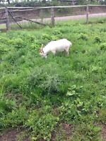 Billy goat for sale...