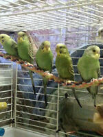 Very Young Budgies For Sale