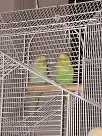 2 Budgies& Large House Cage