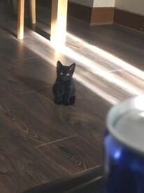 8weeks old black female kitten