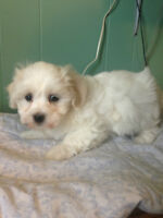 Beautiful Bicha - Poo Puppies for sale!!