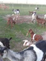 Boer Goat & Boer Goat/Cross Doelings & Bucks