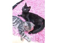 SLIVER TABBIES MIXED BREED KITTENS