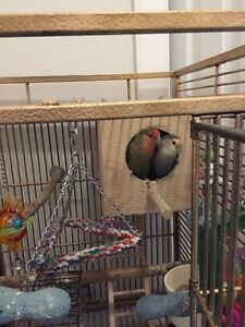 Breeding pair of lovebird