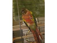 Lost green cheek Conure in Neath reward on return orange band right leg