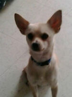1 year old male chihuahua