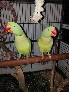 Alexandrine Parrots Werribee Wyndham Area Preview