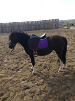 Welsh Section A mare for Sale