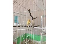 Canary pair with cage