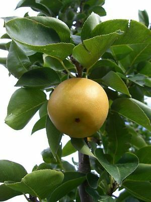 Asian Pear  Pyrus Pyrifolia  Chinese Sand Pear Tree Seeds  Usa  15  Seeds