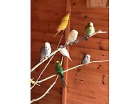 Assortment of budgies last ones left now