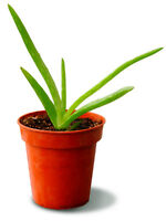Medium Aloe Vera plants with pot
