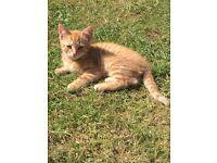 Cheap female kitten rare hard to find ginger female