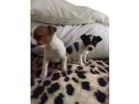 Chihuahu cross Jack Russell