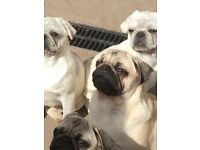 Pug boys kc reg/ microchipped / fully vaccinated