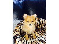 pomeranian cross chihuahua for sale-