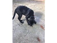 Black Labrador puppies Male & Female , £550 NW4