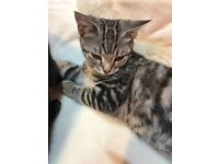 MIX BREED SILVER TABBIES KITTEN