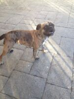 Fawn Pug, Bug, Chinese Crested Hairless, Chihuahua $350 EACH