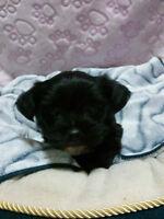 Chiots croisés Bichon-Caniche /  Yorkshire Terrier