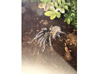 A few tarantulas for sale