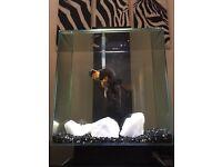 Blackmoor fish (Free to good home)