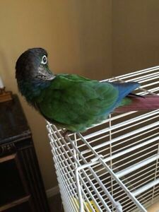 Green Cheek Conure+Cage For $200!!