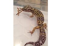 Three Male Leopard Geckos for QUICK sale