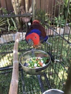 Talking female Eclectus parrot with cage