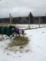 2 Pigmy goats for sale