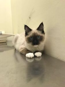 Manx Siamese  Downtown-West End Greater Vancouver Area image 1