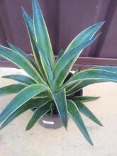 succulent plant Fairfield Fairfield Area Preview