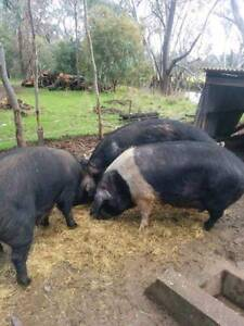 Free pigs for slaughter - Berkshire & Large Black North Wangaratta Wangaratta Area Preview
