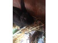 Female black rabbit around 8months old