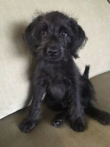 READY TO GO!! ADORABLE MINIATURE SCHNOODLE PUPPY!