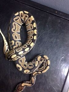 Two normal male ball pythons  Peterborough Peterborough Area image 2