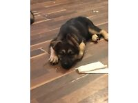 Alaskan malamute x German Shepard puppies