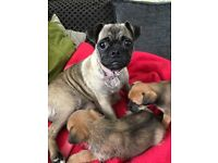 Pug cross puppy's last 2 girls from litter