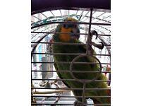 Orange winged amazon parrot for sale