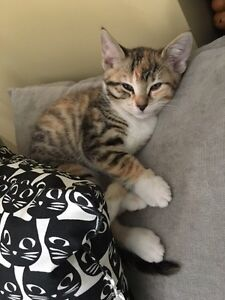 2 kittens $50 each with First shot and deworming  Kitchener / Waterloo Kitchener Area image 2
