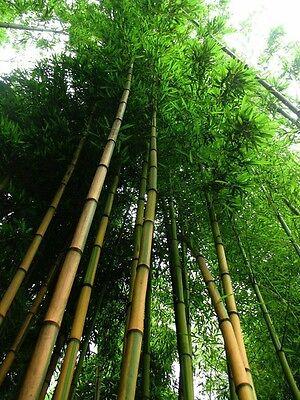 Goldener Bambus Samen / Winterharte Kübelpflanzen Pflanzen für den Garten Balkon