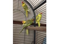 Four kakariki and bird cage