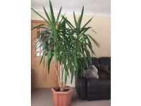 12 yrs mature Yucca plant approx 2m/6ft tall